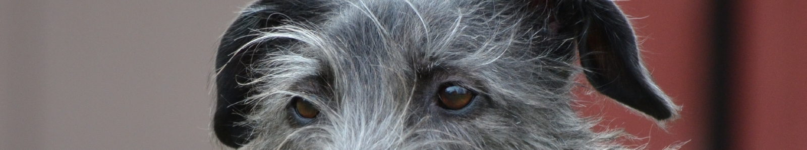 Mearcair Deerhounds, Parsons & Reptiles
